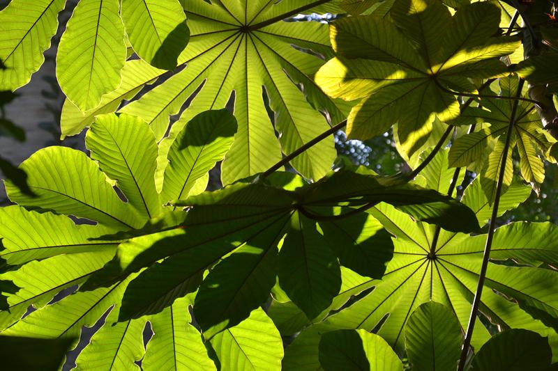 cecropia peltata, Schildblättriger Ameisenbaum, Großes Tropenhaus, Botanischer Garten Berlin