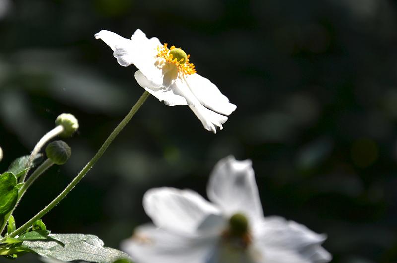 Anemone elegans, Japanische Anemone, Botanischer Garten Berlin