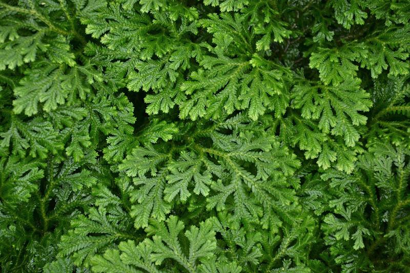 Moosfarn, Selaginella martensii, Gewächshaus, Botanischer Garten Berlin