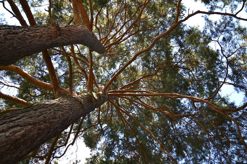Pinus sylvestris, Platten-Kiefer, Botanischer Garten Berlin
