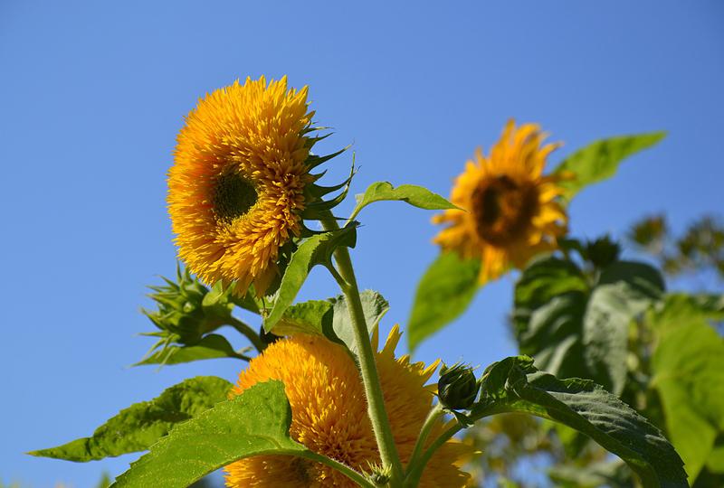 Helianthus annuus, Sonnenblumen, Botanischer Garten Berlin