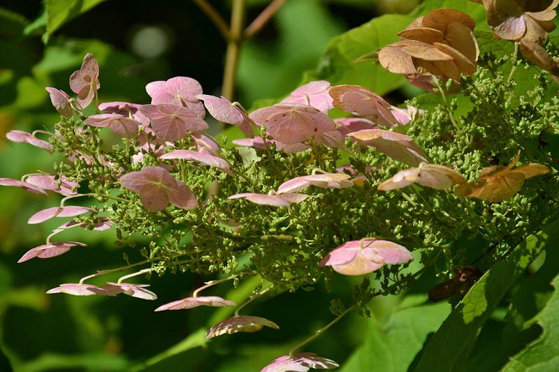 Astralagus canadensis Kanadischer Tragant, Botanischer Garten Berlin