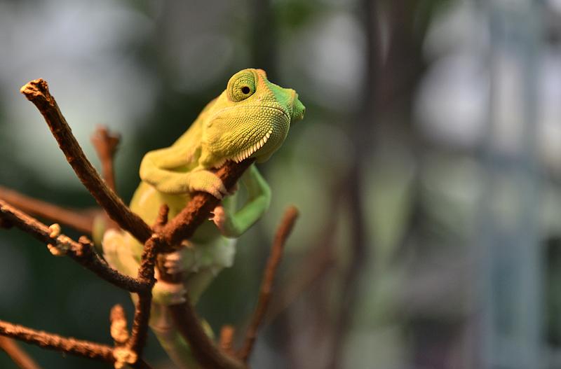 Biosphäre Potsdam, Junges Jemen-Chamäleon