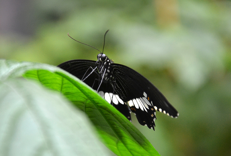 Gewöhnlicher Mormone, Palilio polytes, Schmetterlinge Biosphäre Potsdam