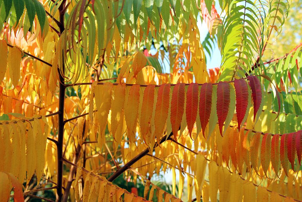 Reichenow, Essigbaum im Herbst