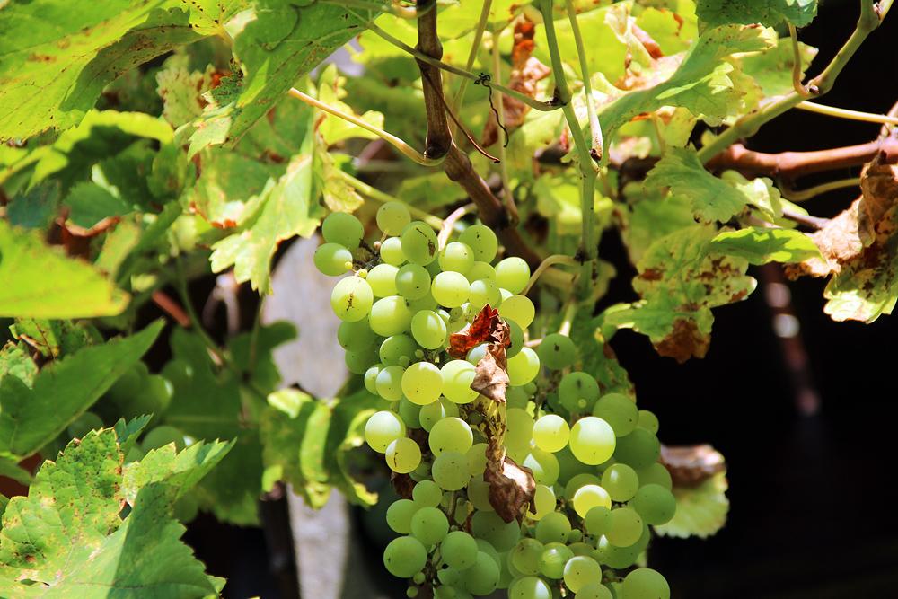 Reichenow, Wein