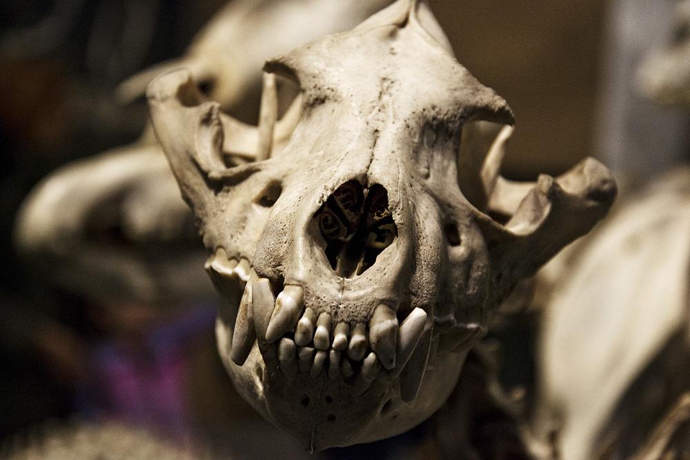 Hessisches Landesmuseum Darmstadt, Schädel einer Hyäne