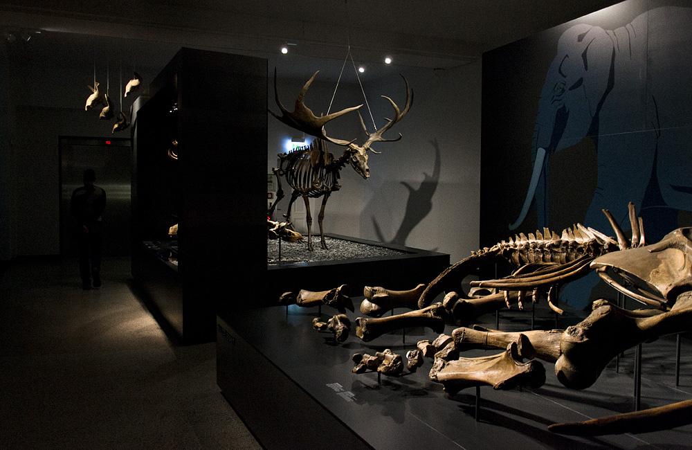 Hessisches Landesmuseum Darmstadt, Megaloceros giganteus