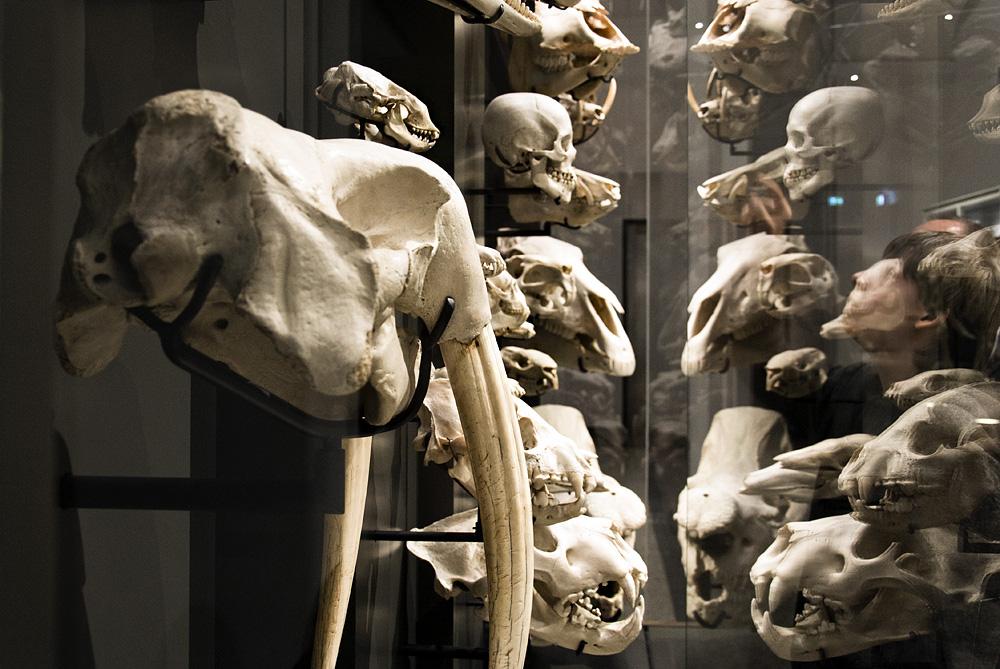 Hessisches Landesmuseum Darmstadt, Zoologische Abteilung, Tierschädel