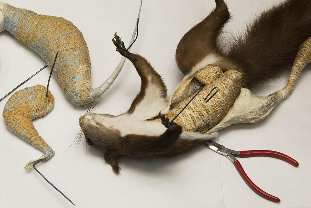 Museum für Naturkunde Berlin, Präparation eines Eichhörnchens