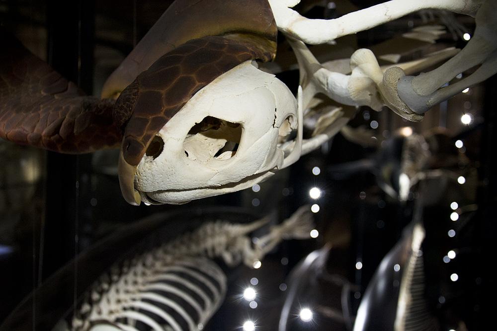 Museum für Naturkunde Berlin, Unechte Karettschildkröte