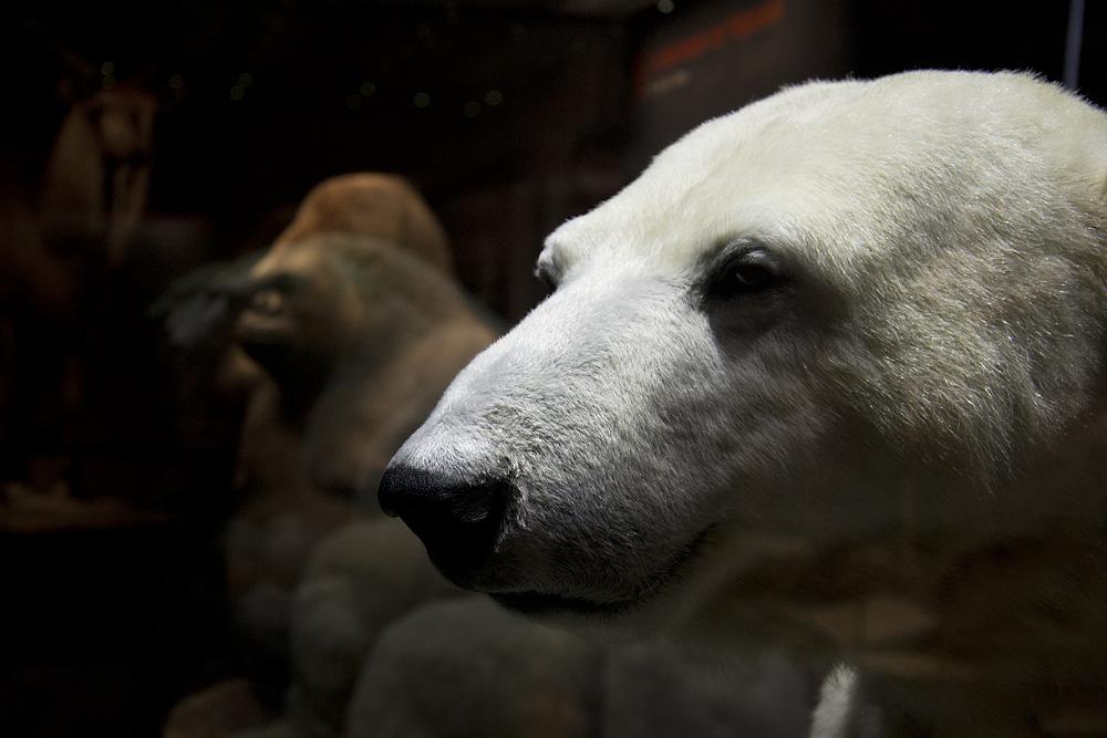 Museum für Naturkunde Berlin, ausgestopfter Eisbär Knut