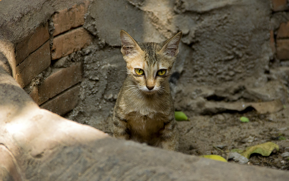 Phnom Penh, Katze