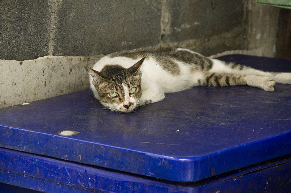 Bangkok, Katze