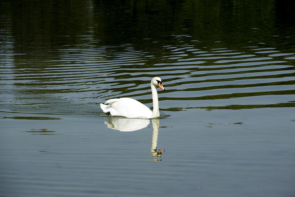 Britzer Garten, Schwan