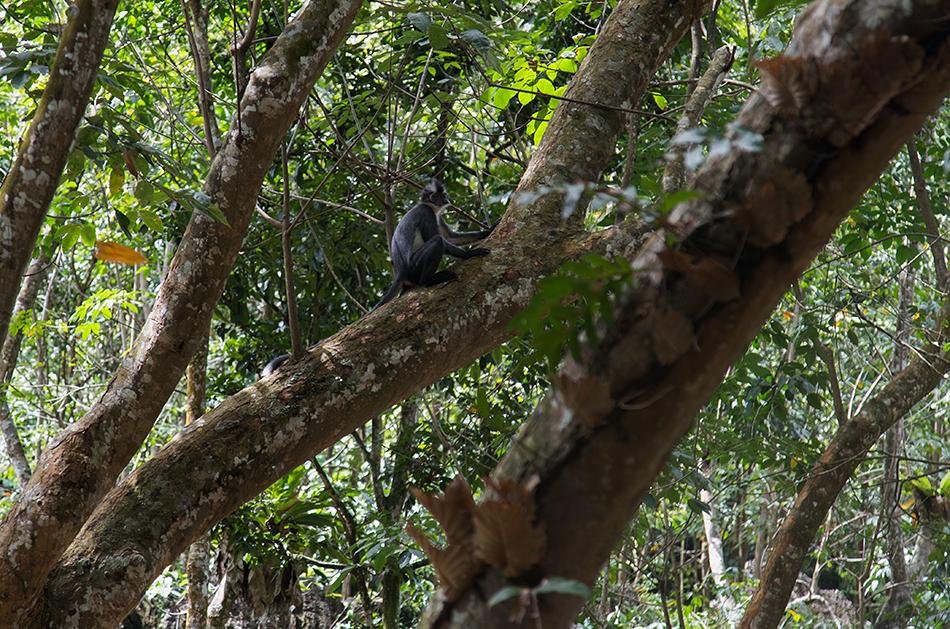 Fabian Fröhlich, Bukit Lawang, Sumatra, Thomas's langur