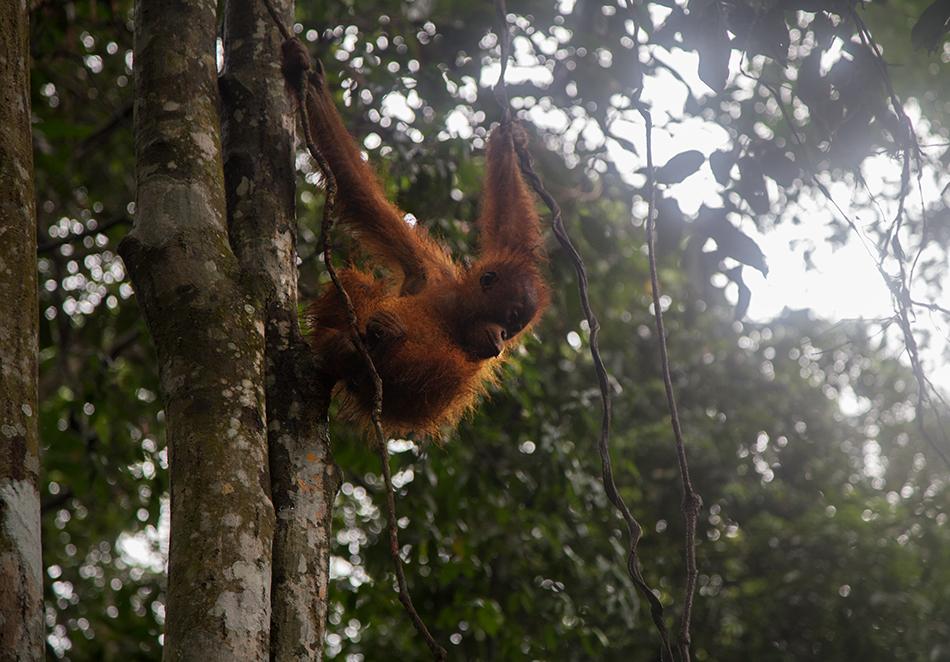 Orang Utan, Gunung Leuser National Park, Rainforest, Sumatar, Fabian Fröhlich