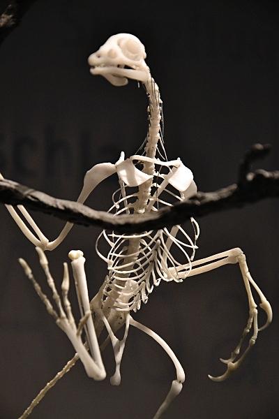 Fabian Fröhlich, Naturkundemuseum Berlin, Archaeopterix-Skelett