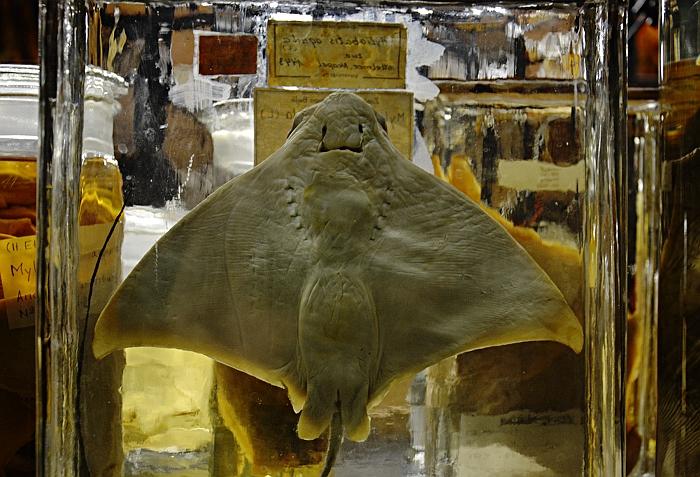 Fabian Fröhlich, Naturkundemuseum Berlin, Nasspräparat, Rochen