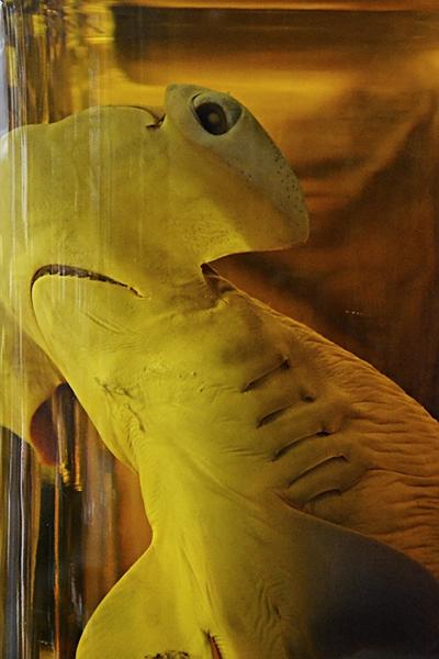 Fabian Fröhlich, Naturkundemuseum Berlin, Nasspräparat, Hammerhai