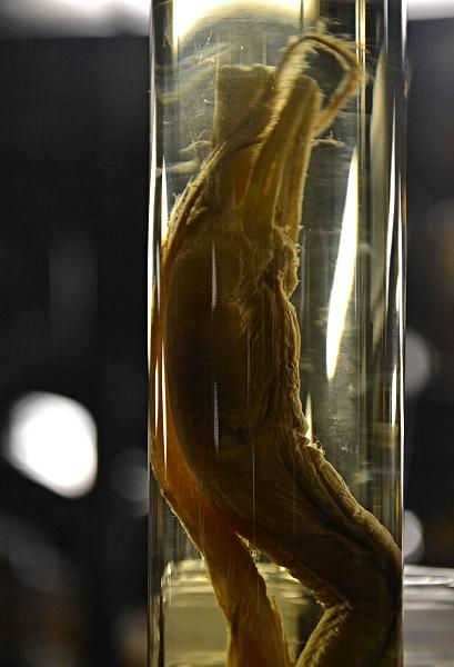 Fabian Fröhlich, Naturkundemuseum Berlin, Nasspräparat