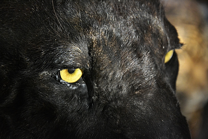 Fabian Fröhlich, Naturkundemuseum Berlin, präparierter Panther