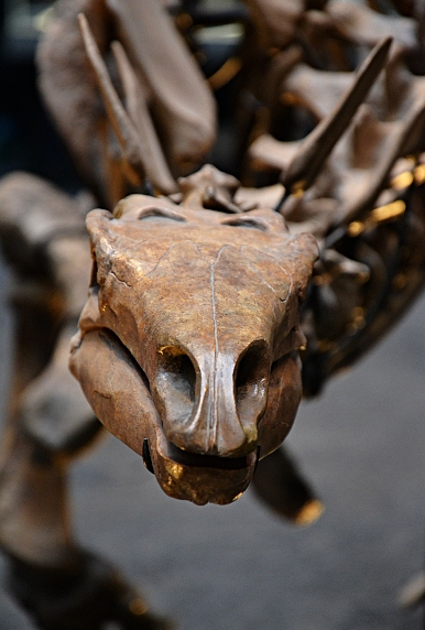 Fabian Fröhlich, Naturkundemuseum Berlin, Kentrosaurus-Skelett