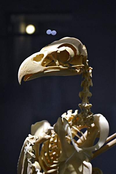 Fabian Fröhlich, Naturkundemuseum Berlin, Vogelskelett