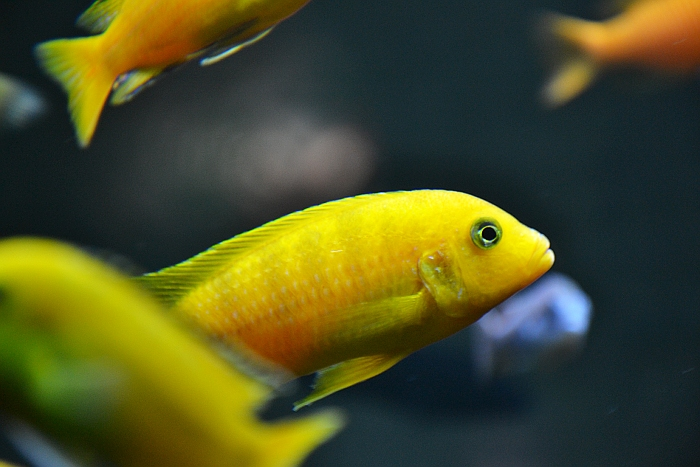 Fabian Fröhlich, Berlin Zoo, Aquarium, gelber Fisch