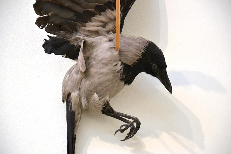 Tate Modern, Jannis Kounellis, Untitled (Hooded Crow)