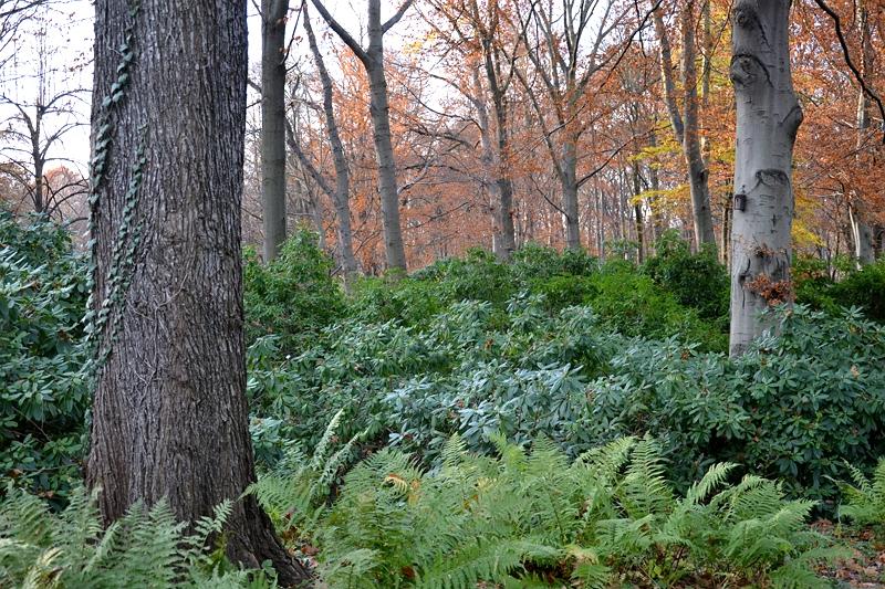 Berlin Tiergarten, Rhododendron, Herbst, Fabian Fröhlich