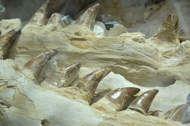 Natuurhistorisch Museum Maastricht, Mosasaurus Bèr