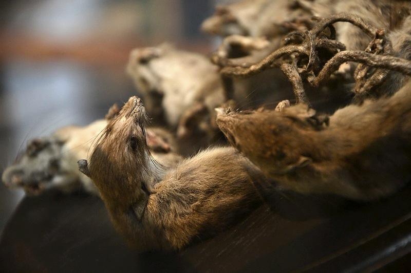 Rattenkönig, Natuurhistorisch Museum Maastricht