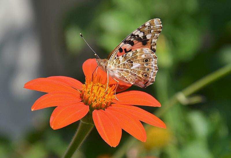 Neuer Garten, Orangerie, Schmetterling, Fabian Fröhlich
