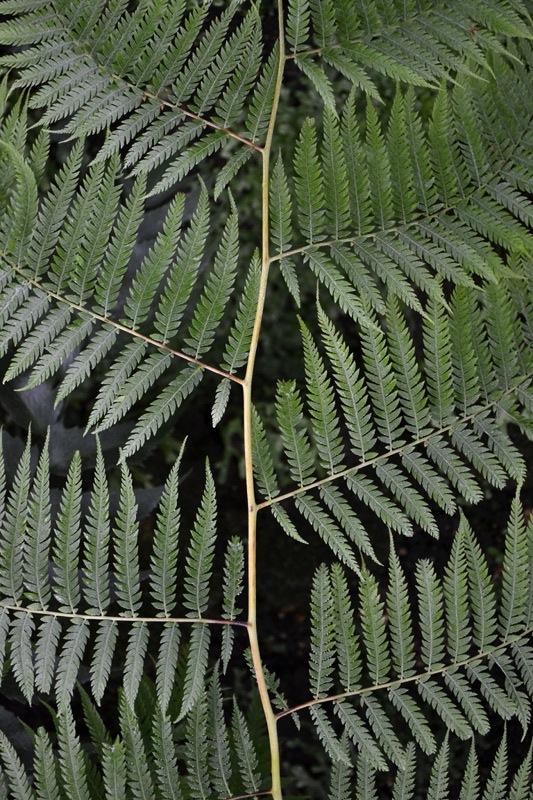Woodwardia radicans, Farn, Gewächshaus, Botanischer Garten Berlin