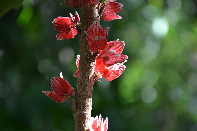 Goethea strictiflora, Steifblütige Goethea, Gewächshaus, Papiopedilum hybride, Frauenschuh, Gewächshaus, Botanischer Garten Berlin