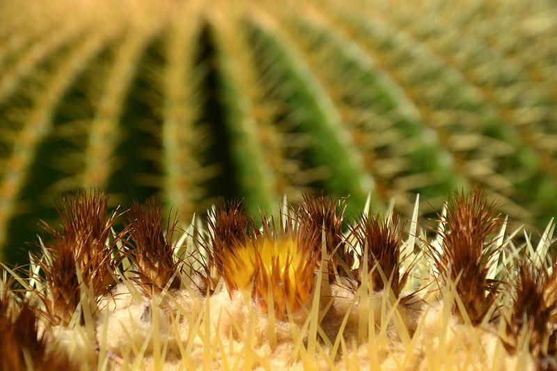 Echinocactus grusonii, Goldkugelkaktus, Papiopedilum hybride, Frauenschuh, Gewächshaus, Botanischer Garten Berlin