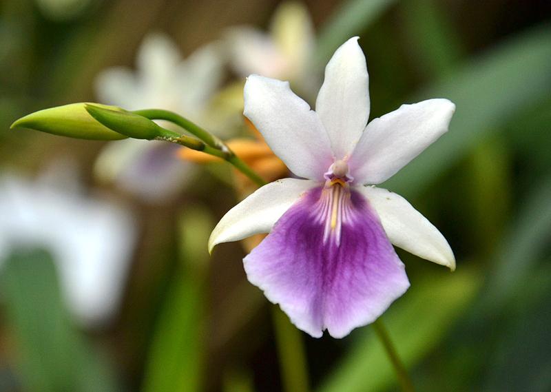 Ordidee, Miltonia regnelli, Papiopedilum hybride, Gewächshaus, Botanischer Garten Berlin