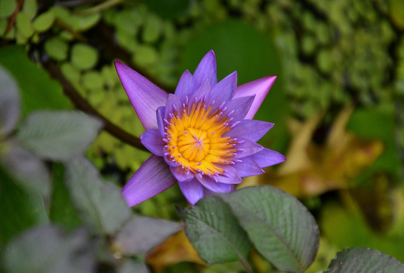 Nymphaea stellata, Blaue Seerose, Botanischer Garten Berlin