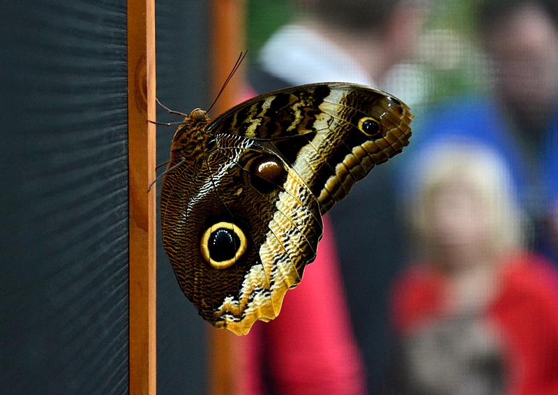 Caligo eurilochus, Bananenfalter, Schmetterlinge Biosphäre Potsdam