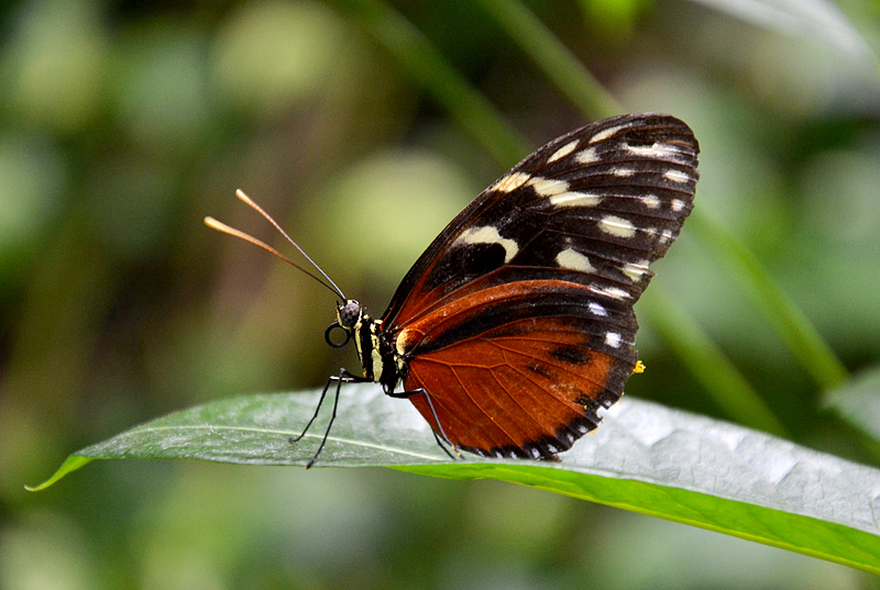 Heliconius hecale, Goldene Hekale, Schmetterlinge Biosphäre Potsdam