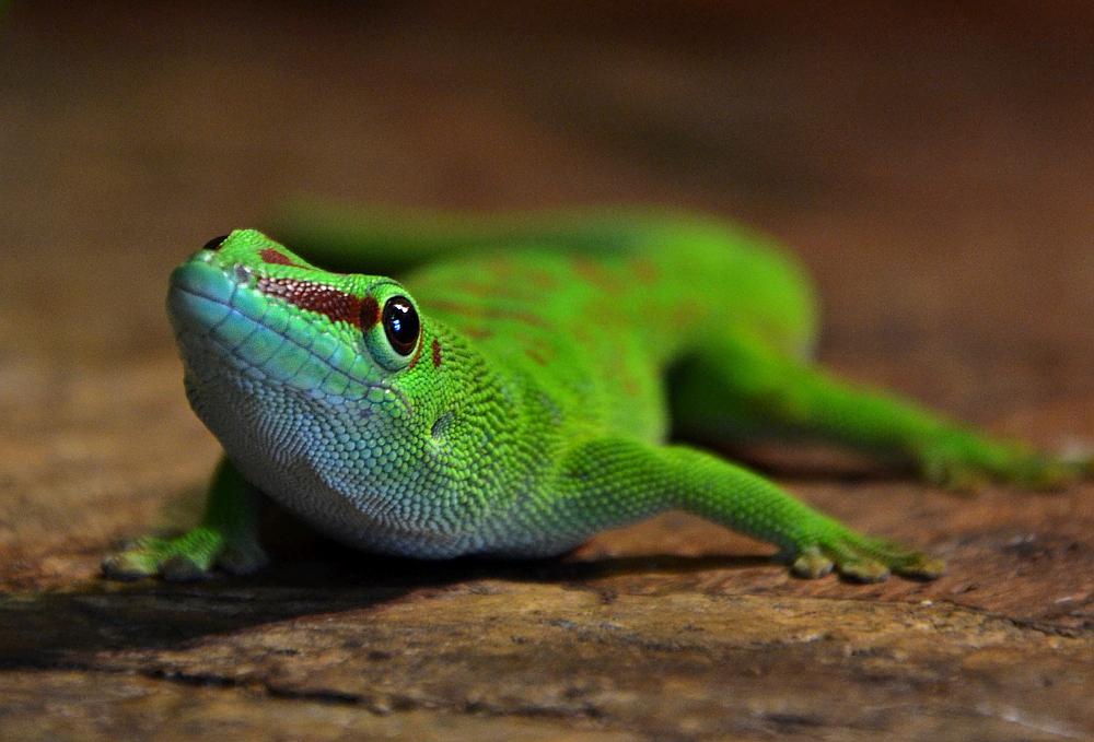 Biosphäre Potsdam, Madagaskar-Taggecko