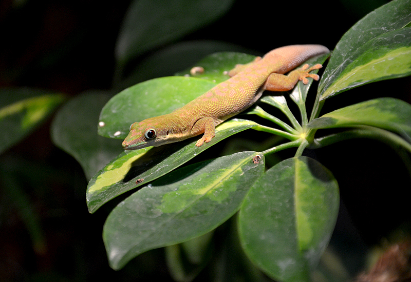 Biosphäre Potsdam, Gecko