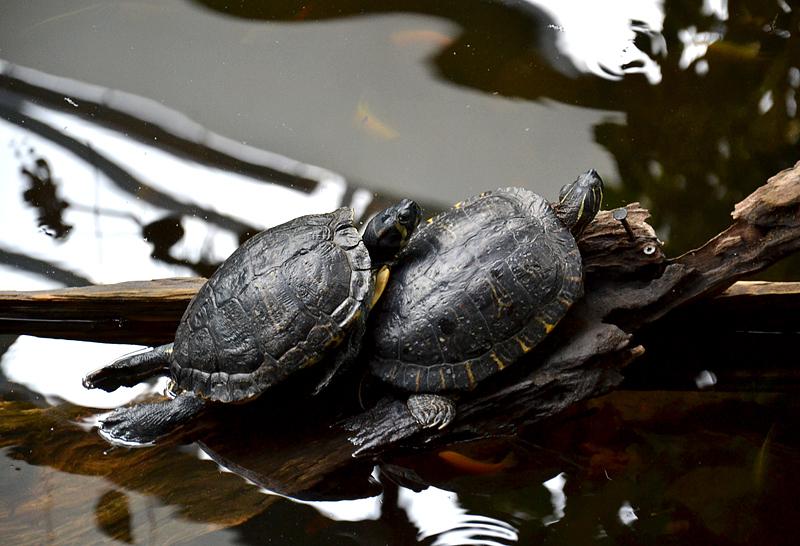 Biosphäre Potsdam, Rotwangenschildkröten