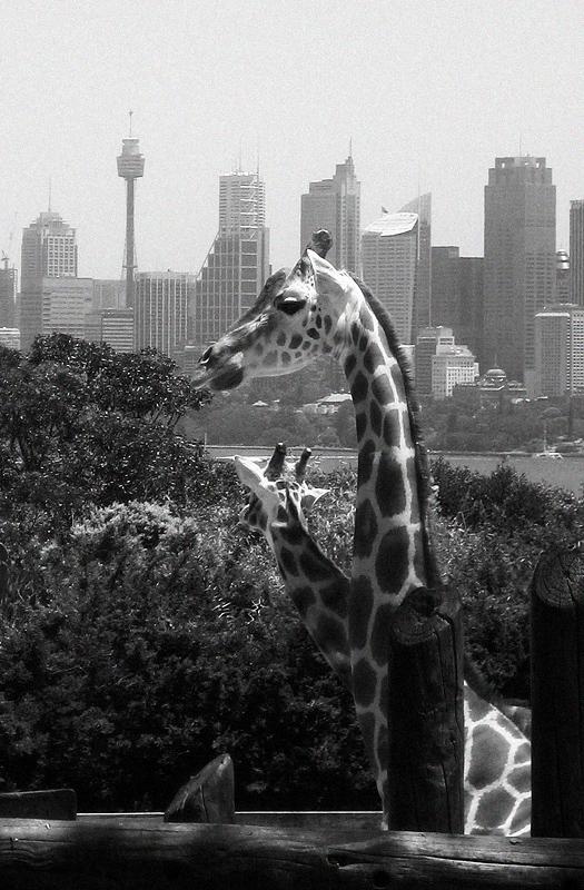 Giraffen im Zoo von Sydney mit Skyline