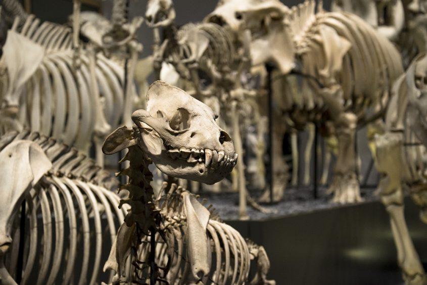 Hessisches Landesmuseum Darmstadt, Skelett einer Hyäne