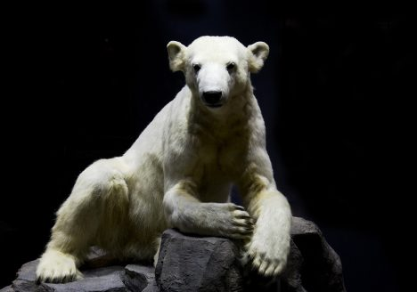 Museum für Naturkunde Berlin, Eisbär Knut, präpariert