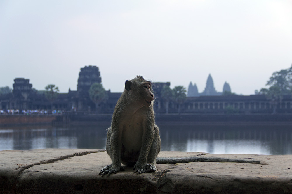 Angkor Wat, Affe