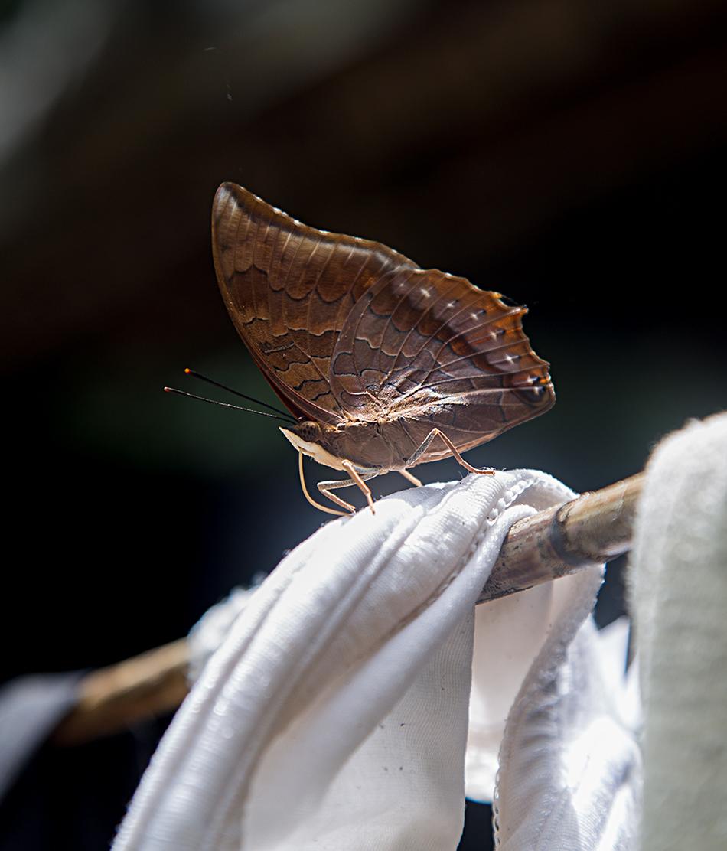 Butterfly, Gunung Leuser National Park, Rainforest, Sumatar, Fabian Fröhlich