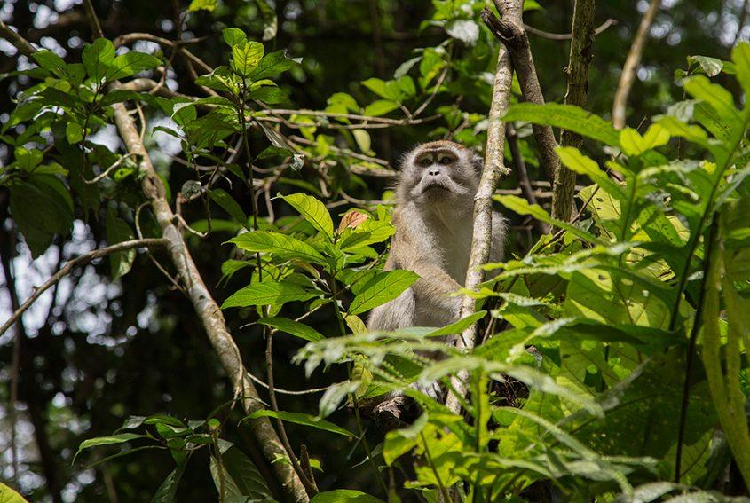 Makake, Gunung Leuser National Park, Rainforest, Sumatar, Fabian Fröhlich